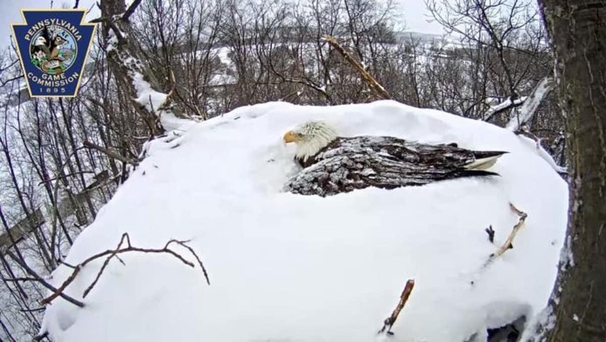 Aigle a tete blanche fb
