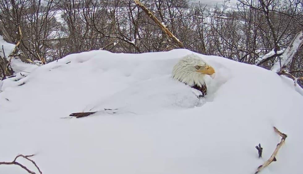 Une Maman Aigle Garde ses œufs Bien au Chaud Sous la Neige