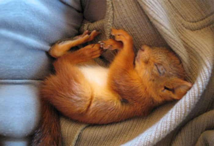bebe ecureuil sauve 1