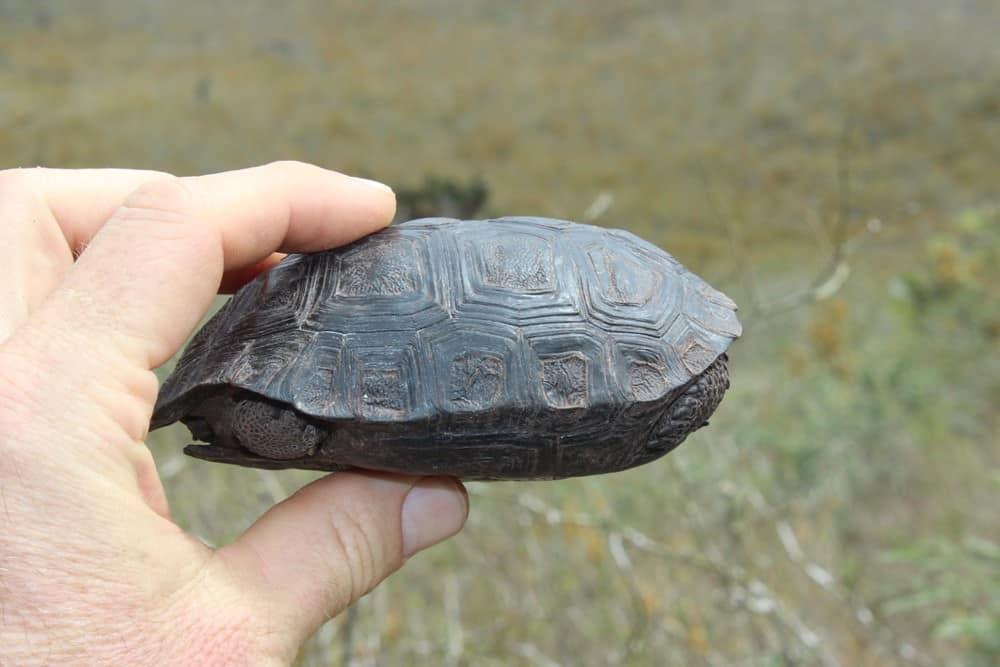 Bebes tortues galapagos 3