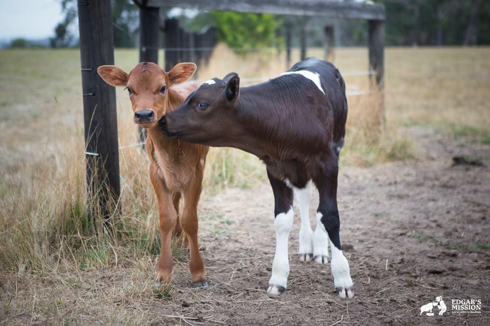 Maman vache 3
