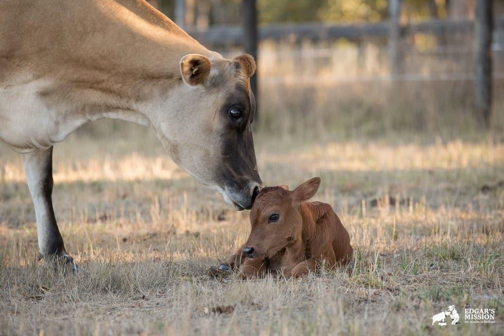 Maman vache 5