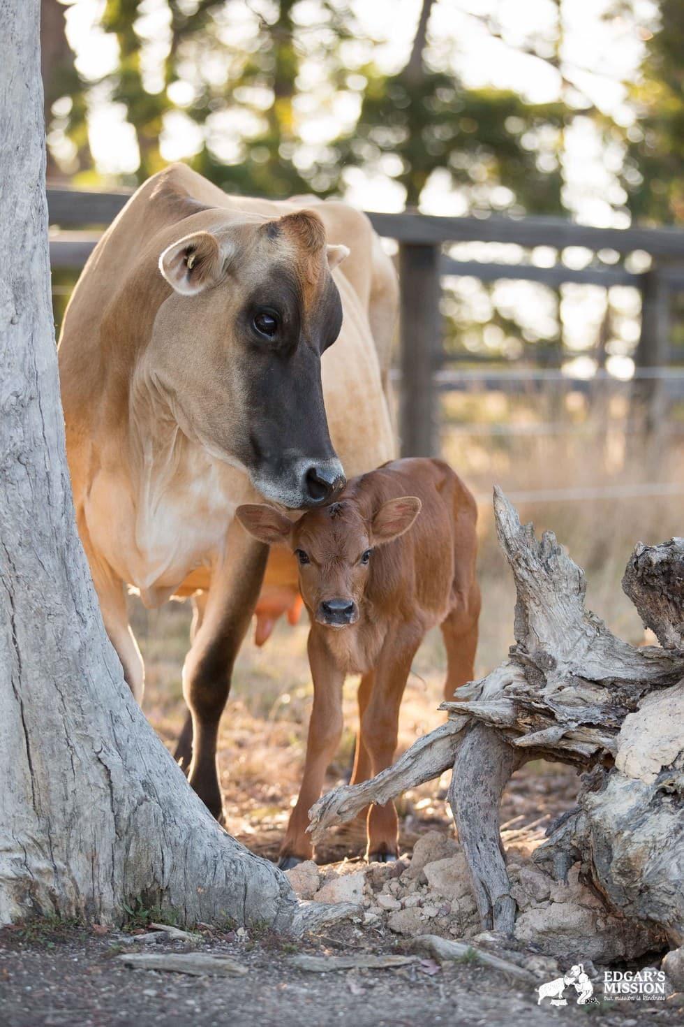 Maman vache 7