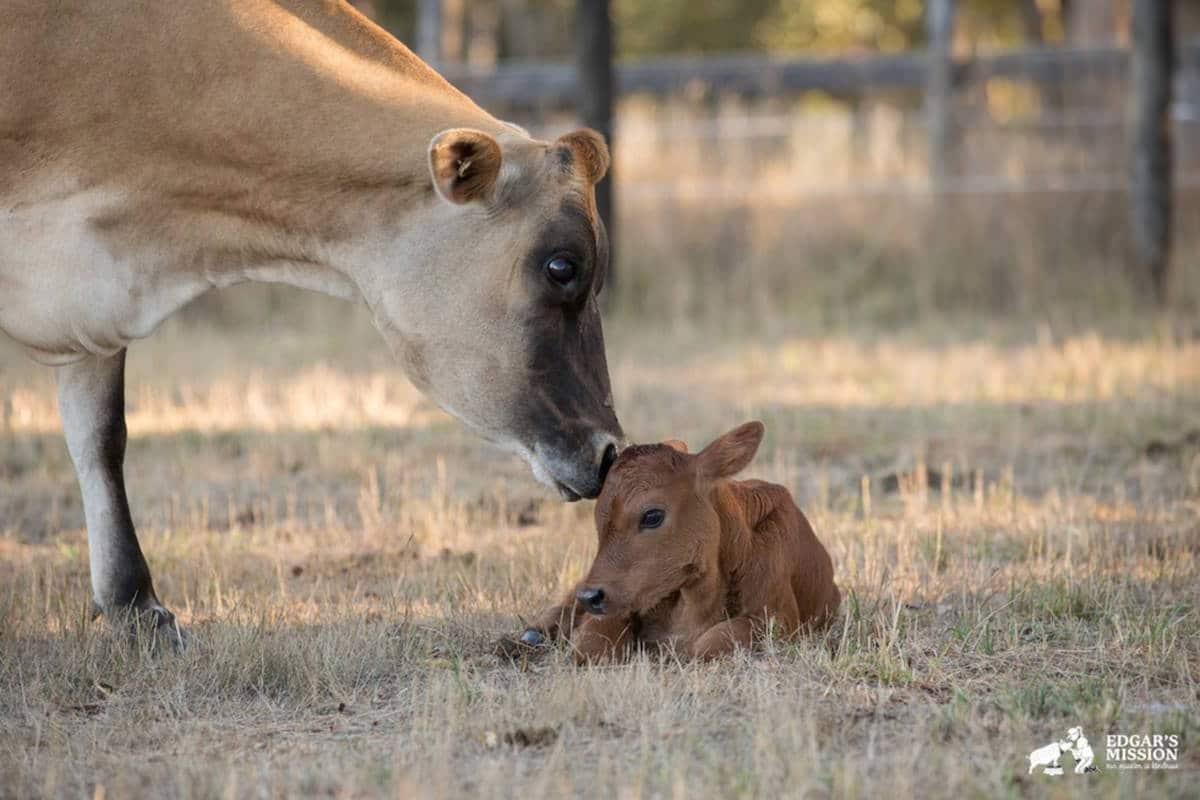 Maman vache fb
