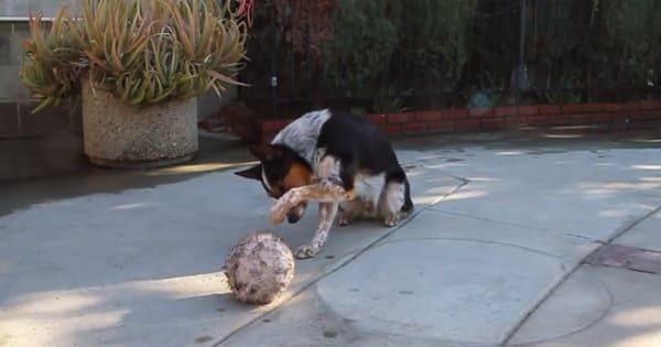 Le chien le mieux dresse au monde