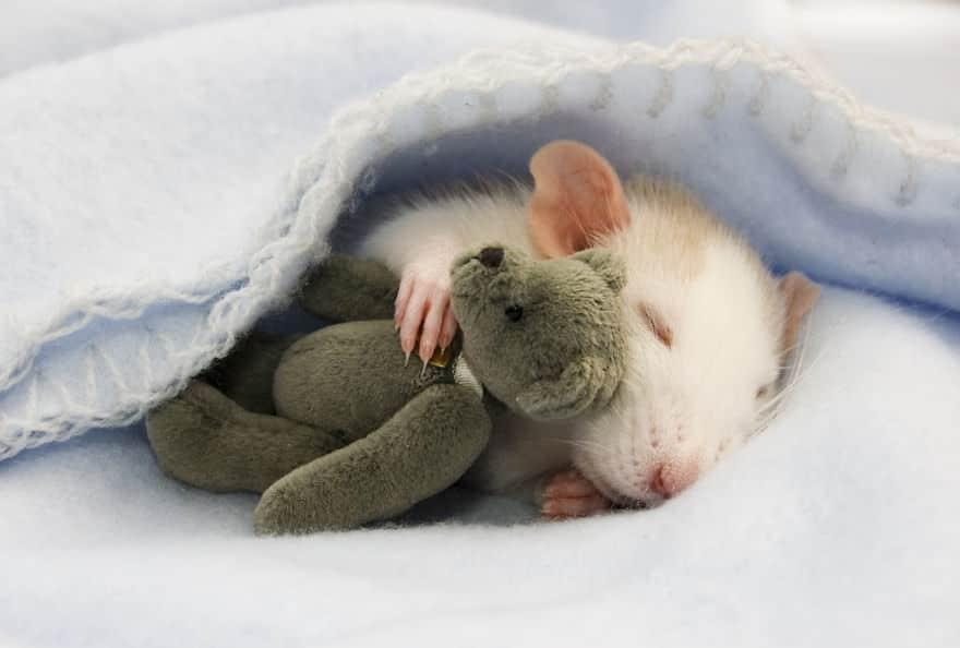 Adorables rats mignons 1