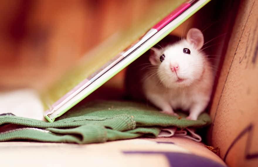 Adorables rats mignons 10