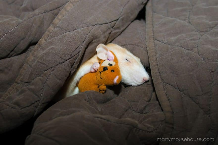 Adorables rats mignons 11