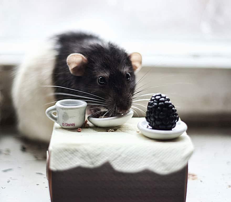 Adorables rats mignons 13