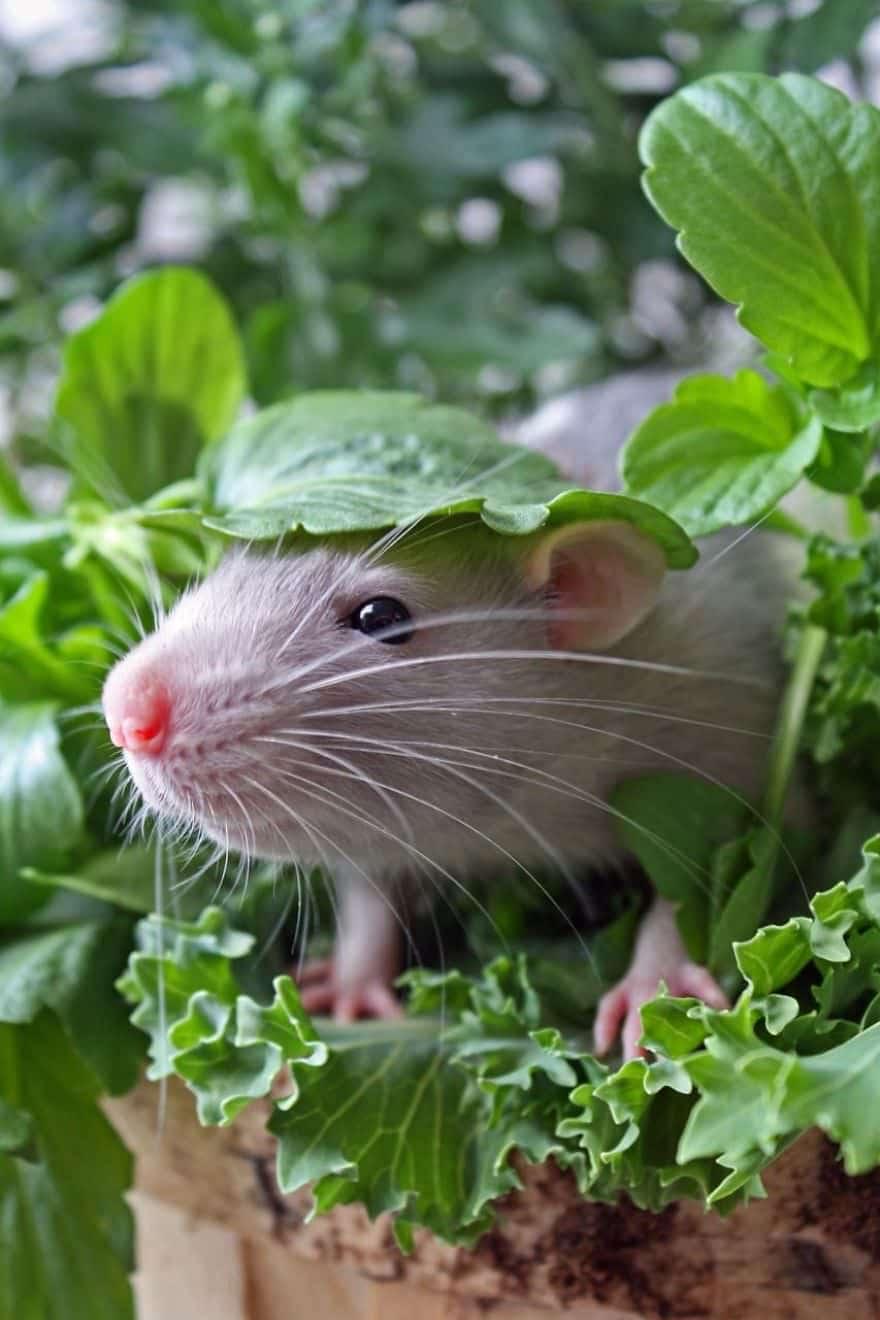 Adorables rats mignons 14