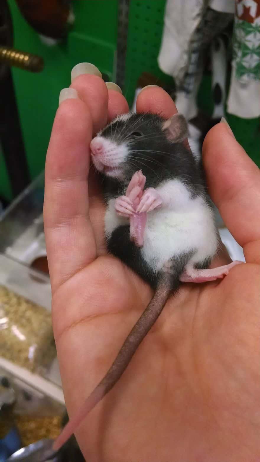 Adorables rats mignons 15