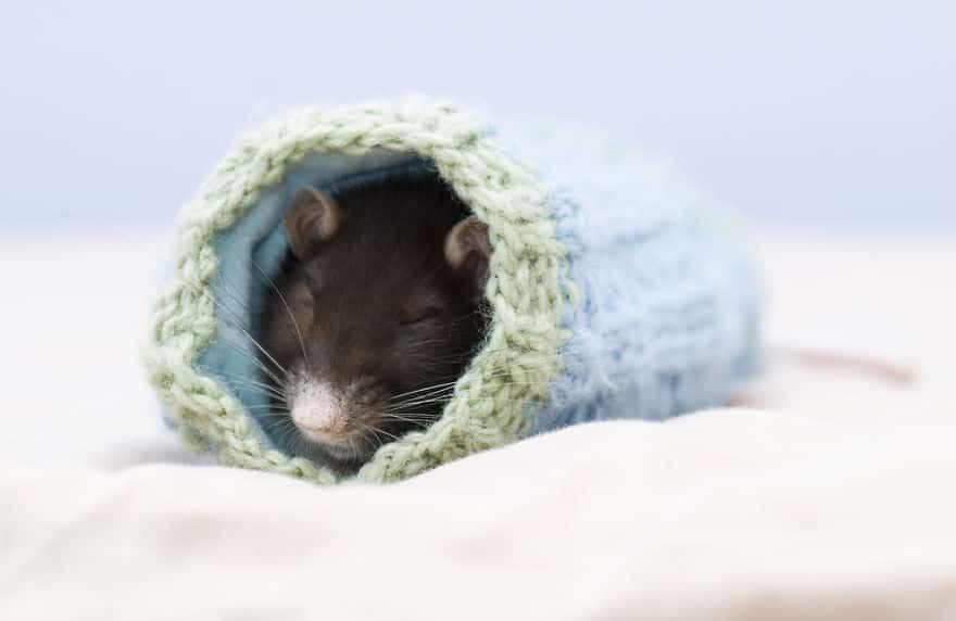 Adorables rats mignons 16