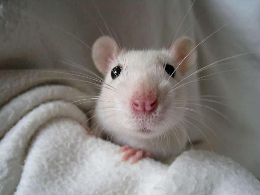 Adorables rats mignons 17
