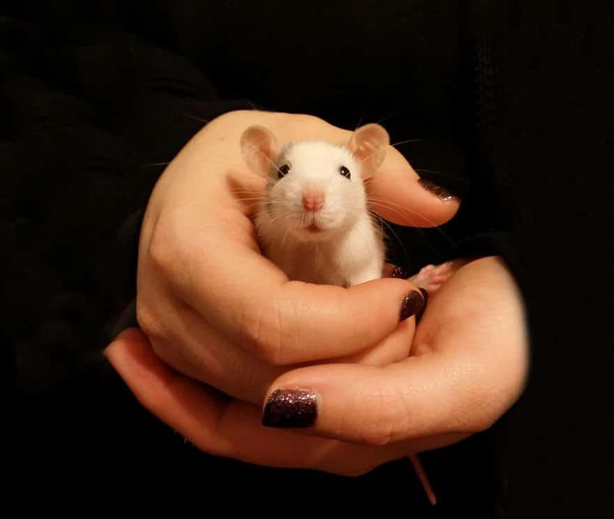 Adorables rats mignons 18