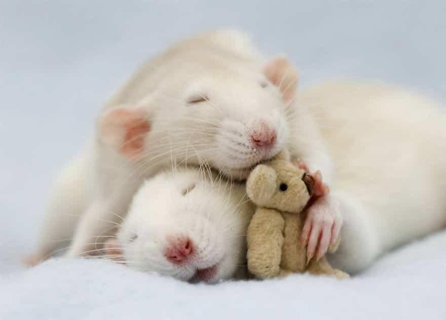 Adorables rats mignons 2