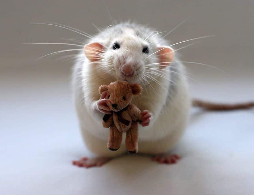 Adorables rats mignons 3