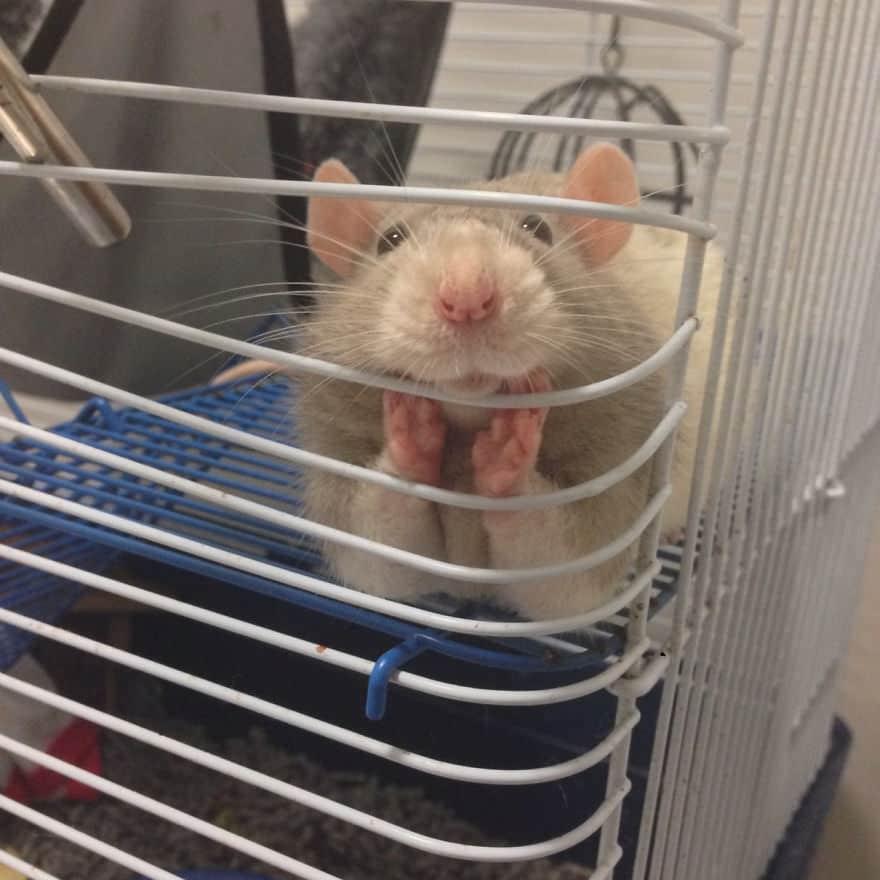 Adorables rats mignons 4