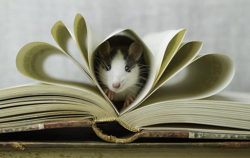 Adorables rats mignons 5
