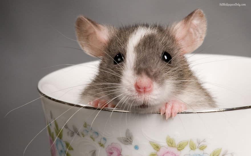 Adorables rats mignons 6