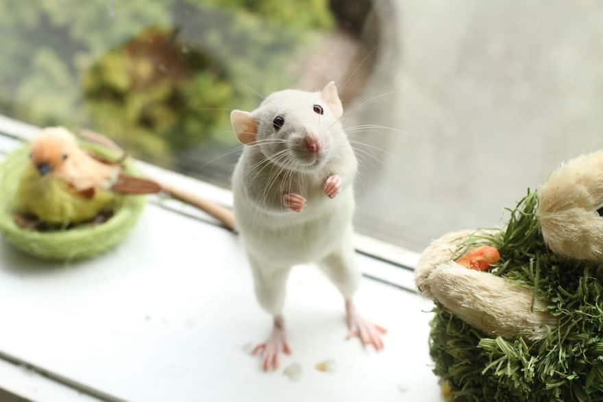 Adorables rats mignons 7