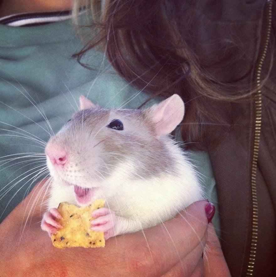 Adorables rats mignons 8