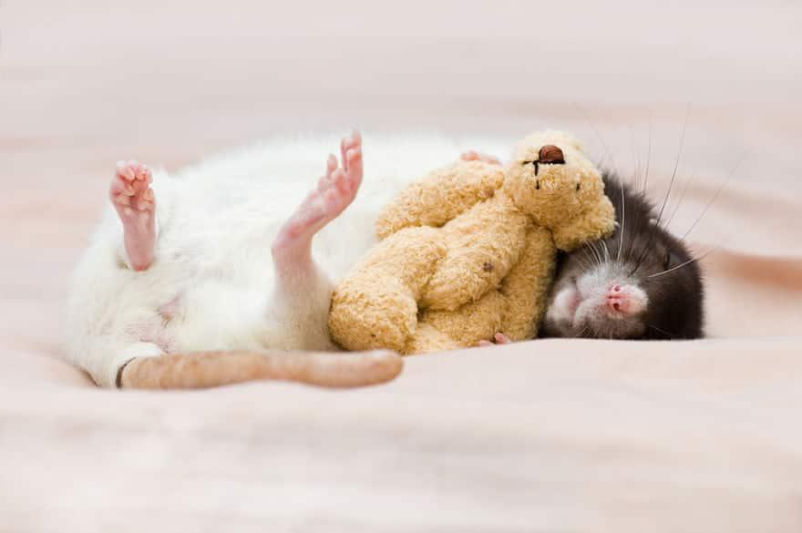Adorables rats mignons 9