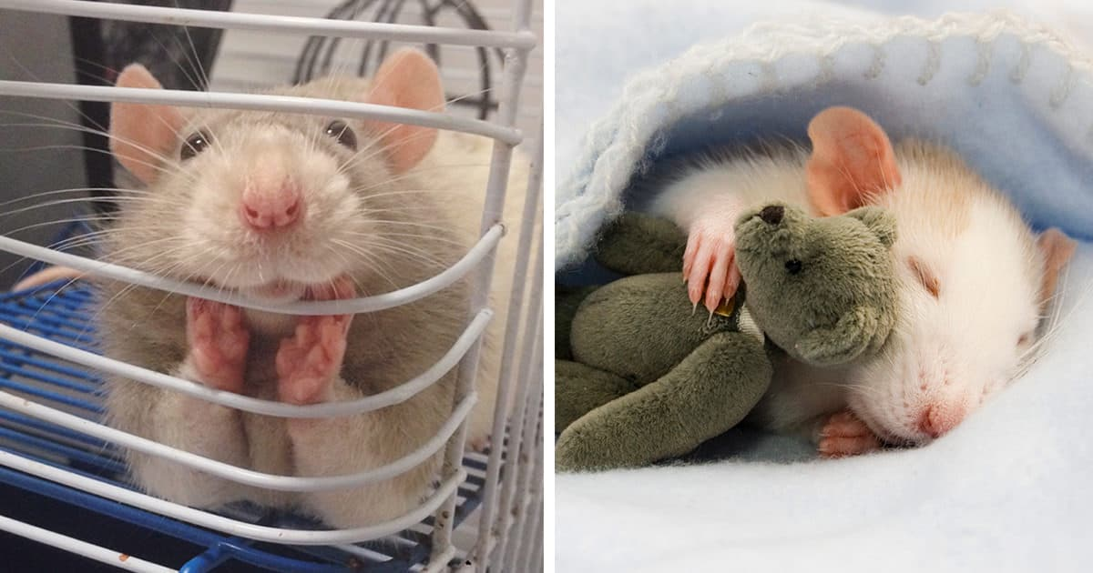 18 photos de rats adorables qui prouvent que ceux ci peuvent tre des animaux de compagnie - Odeur que les rats detestent ...