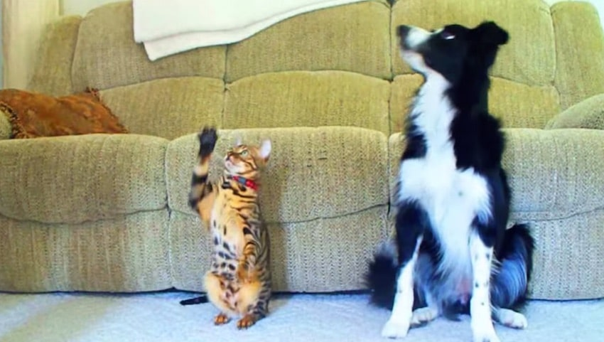 Chat vs chien