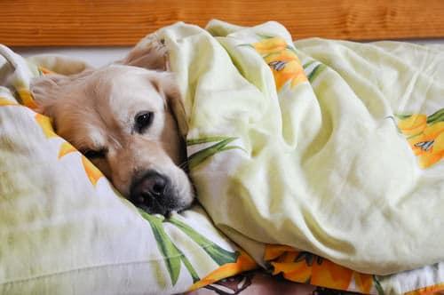 5 raisons qui font que partager votre lit avec votre chien. Black Bedroom Furniture Sets. Home Design Ideas