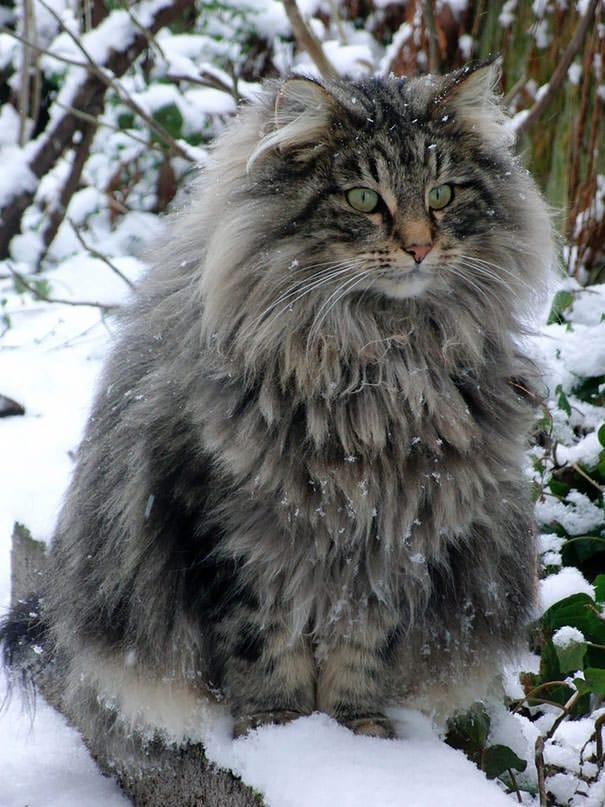 Chat Les Plus Gros Du Monde 20 des plus grands chats domestiques au monde