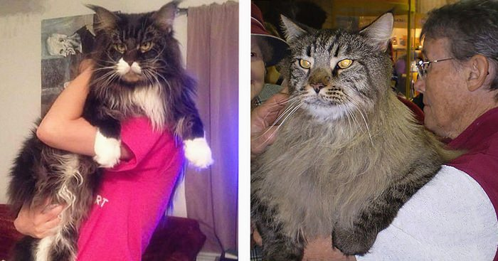 Gros chats fb