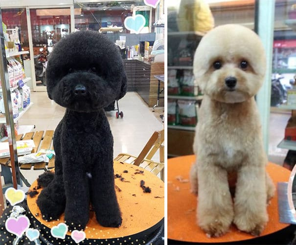 Toilettage chien particulier taiwan 8
