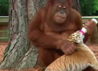 112715 cet adorable orang outan