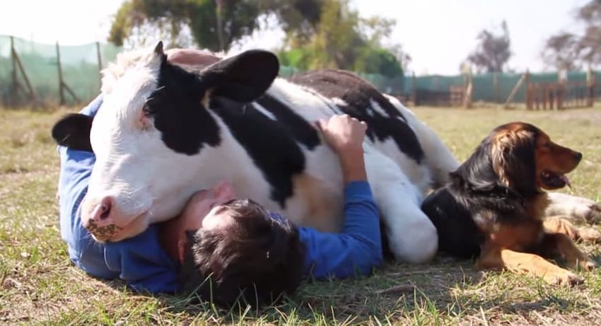 Calins vache