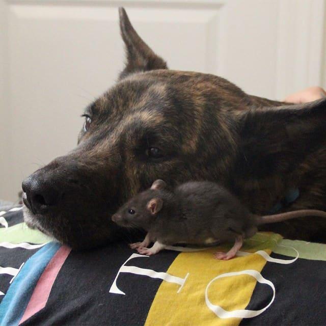 Rat & Chien adoptés sont devenus les meilleurs amis au monde