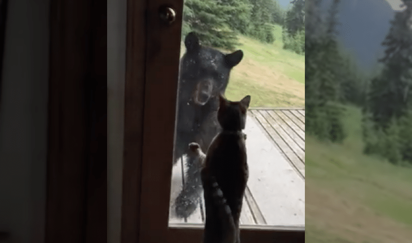 Cat vs bear