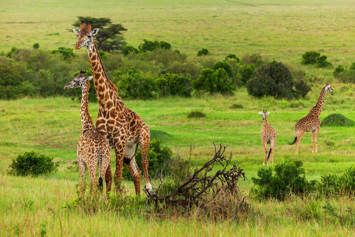 Giraffe en danger 1