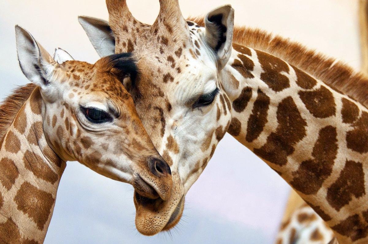 Giraffe en danger 2