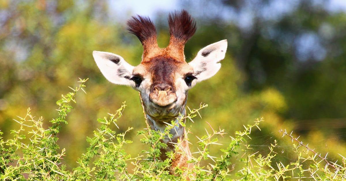 giraffe en danger fb