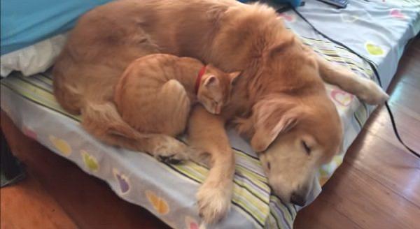 Kitten grow up with golden ret