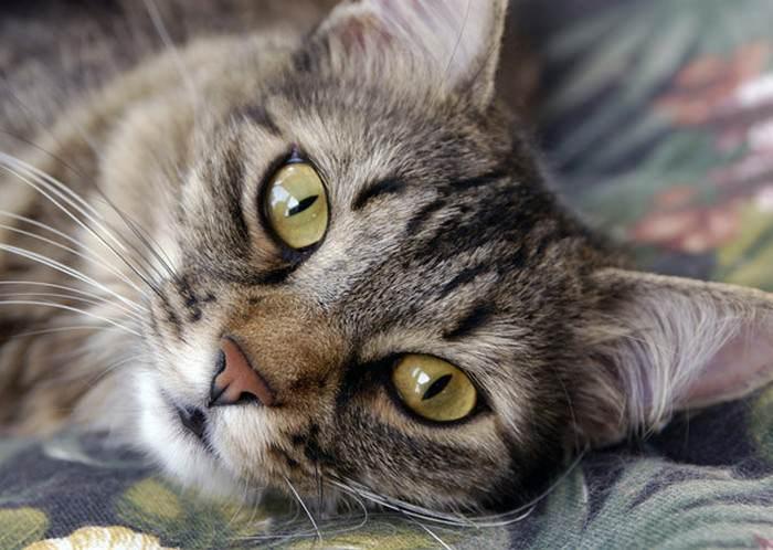 miaulement de chat amoureux