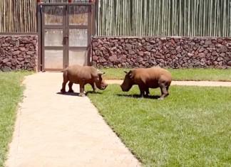 Rhinos sauvages