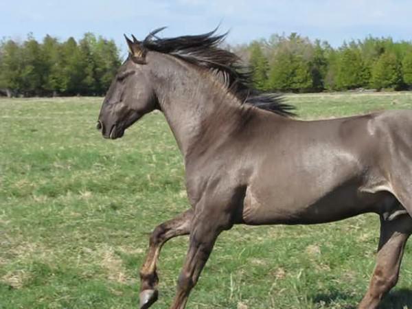 dix des races de chevaux les plus rares et les plus belles au monde. Black Bedroom Furniture Sets. Home Design Ideas