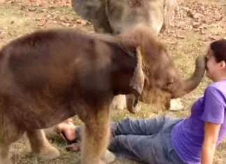 Baby elephant discovers human nose