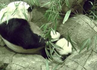 Baby panda first steps