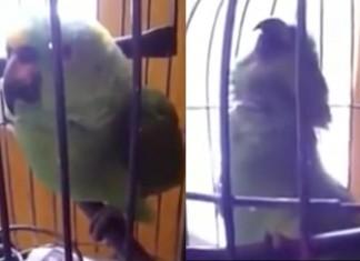 Parrot imitates baby