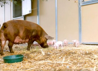 120715 rita the pig deserves mother of the year award