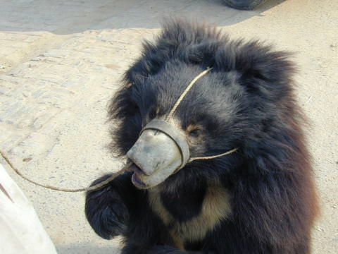 121215-Holly-The-Dancing-Bear-Needs-Help-1