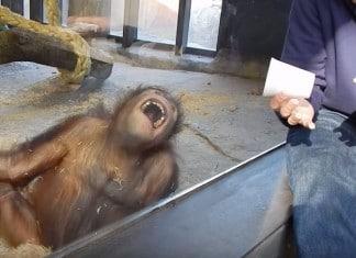 121215 orangutan sees magic trick loses mind