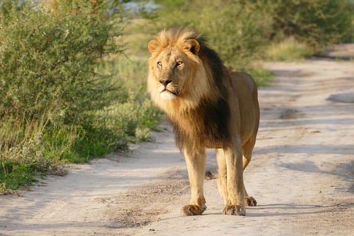 121415-Lion-Lioness-Walk-Up-To-An-Injured-Fox-1